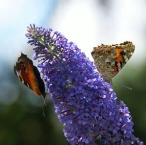 Буддлея давида - любимица бабочек