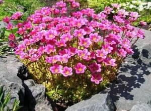 Камнеломка цветение