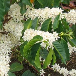 Популярный сорт кофейного дерева для выращивания - арабика