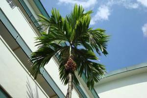 Плоды пальмы ареки катехи