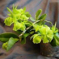 Epidendrum Fuschans