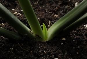 Эухарис почва