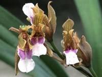 Miltonia russelliana