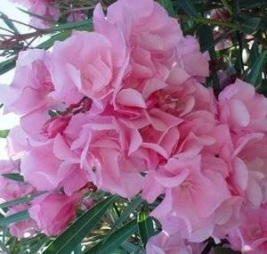 Олеандр при хорошем уходе шикарно цветет