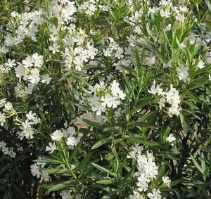 Олеандр ядовитое растение