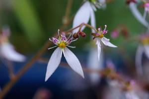 Цветок камнеломки плетеносной