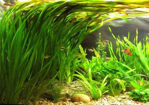 Валлиснерия в аквариуме