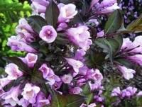 Вейгела нана пурпурная