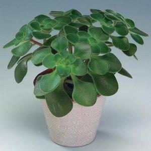 Аихризон или дерево любви в вашем доме