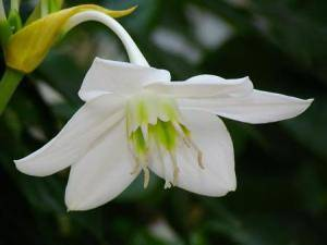 Амазонская лилия цветок
