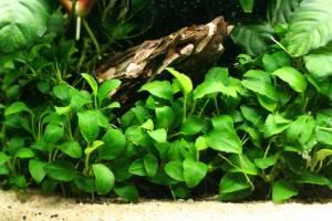 Анубиас нана в аквариуме