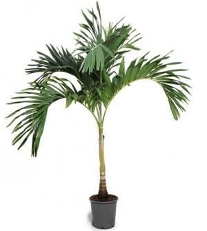 Бетелевая пальма - арека катеху