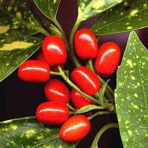 Аукуба может порадовать цветением и яркими плодами