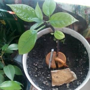 Молодой росток авокадо пересаживают в постоянный горшок