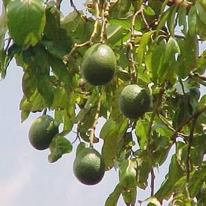 В природных условиях авокадо вырастает полноценным деревом