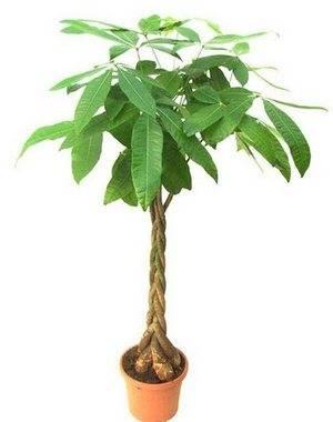 Авокадо можно вырастить в домашних условиях