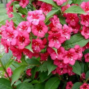 Вейгела бристоль руби цветение