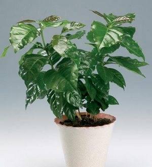 Кофейное дерево очень прихотливо к условиям выращивания