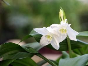 Амазонская лилия эухарис цветение