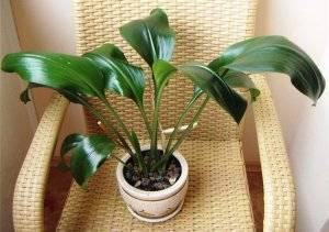 Амазонская лилия эухарис в вазоне