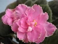 Прекрасная и далекая родина растения фиалки узамбарской