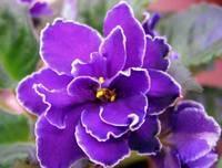 Почему не цветут фиалки дома расскажут профессионалы