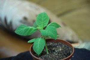 Бругмансия из семян - рассада