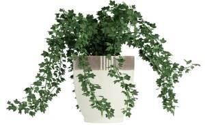 Самые популярные вьющиеся растения для дома