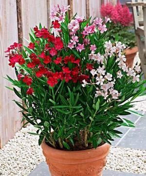 Олеандр можно выращивать и в домашних условиях