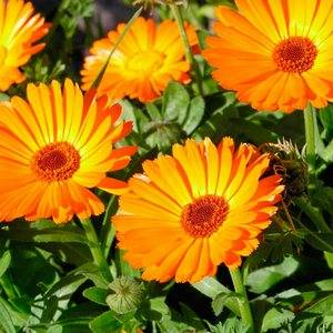orange-zvet