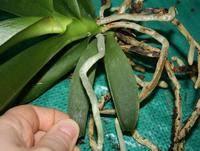 Как размножить орхидею корнями - советы цветоводов
