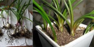 Валлота размножение луковицами