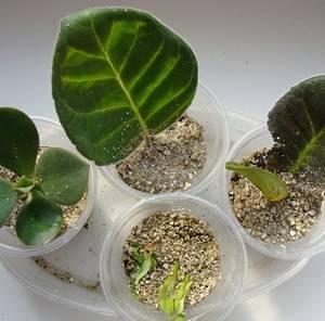 Вермикулит используют для укоренения некоторых растений