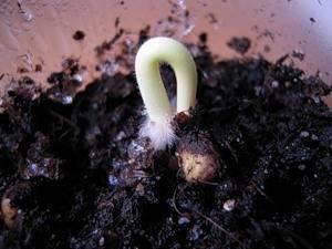 Бругмансия из семян