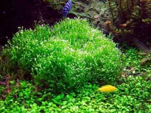 Яванский мох в аквриуме