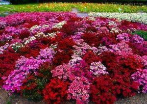 К чему снятся цветы на клумбе?