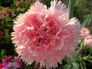 Гвоздика Шабо цветок