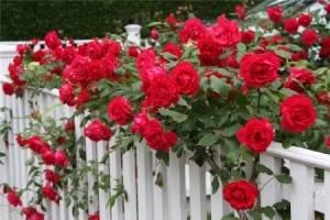 Куст розы во сне