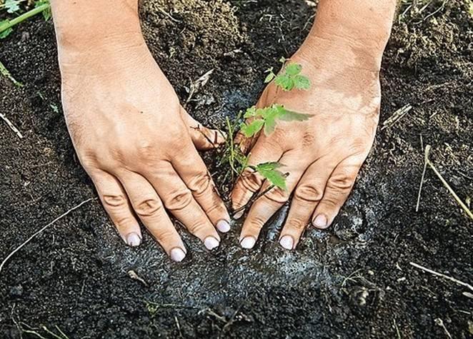 посадить базилик на рассаду с миняевой