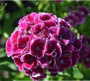 Гвоздика турецкая цветение