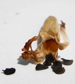 Семена гвоздики Шабо