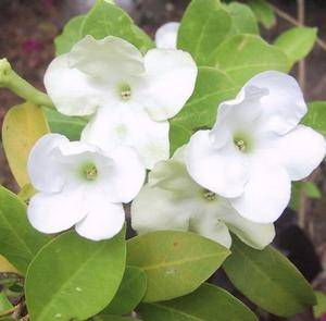Брунфельсия бывает белого цвета