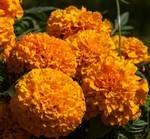 Goldball Tagetes