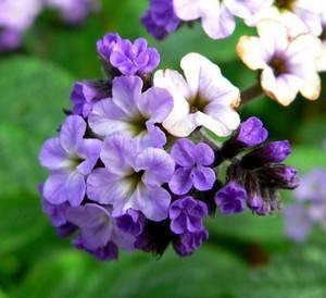 Цветы гелиотропа источают приятный аромат
