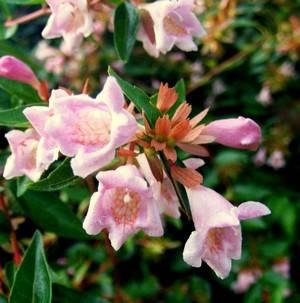 Цветы абелии бывают розового окраса