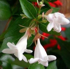 Цветы абелии похожи на колокольчики