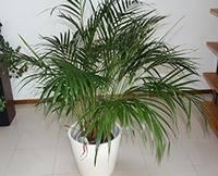 Секреты профессионалов по уходу за пальмой арекой
