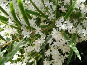 Аспарагус серповидный цветение