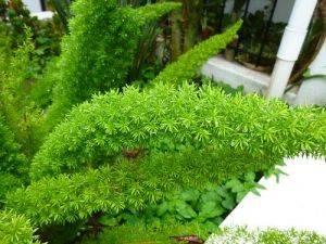 Аспарагус Мейера листья