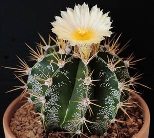 Астрофитум это кактус, который украсит любой сад